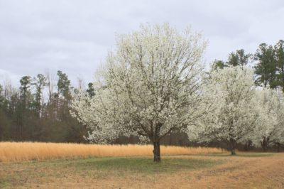 flowering-pear-tree