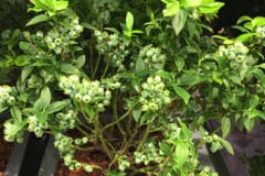 growing-blueberries-in-containers