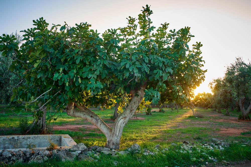 Growing Figs Top Tips For Success