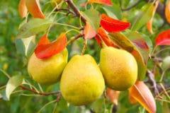 growing-pear-trees