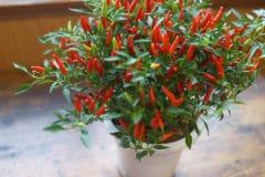 growing-peppers-in-pots