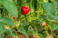 growing-strawberries