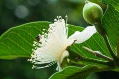 guava-flower
