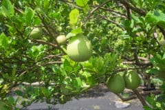 Guava Tree Care » Keeping It Happy & Healthy