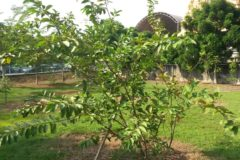 guava-tree-care