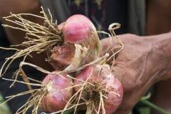 harvesting-shallots