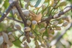 how-do-pistachios-grow