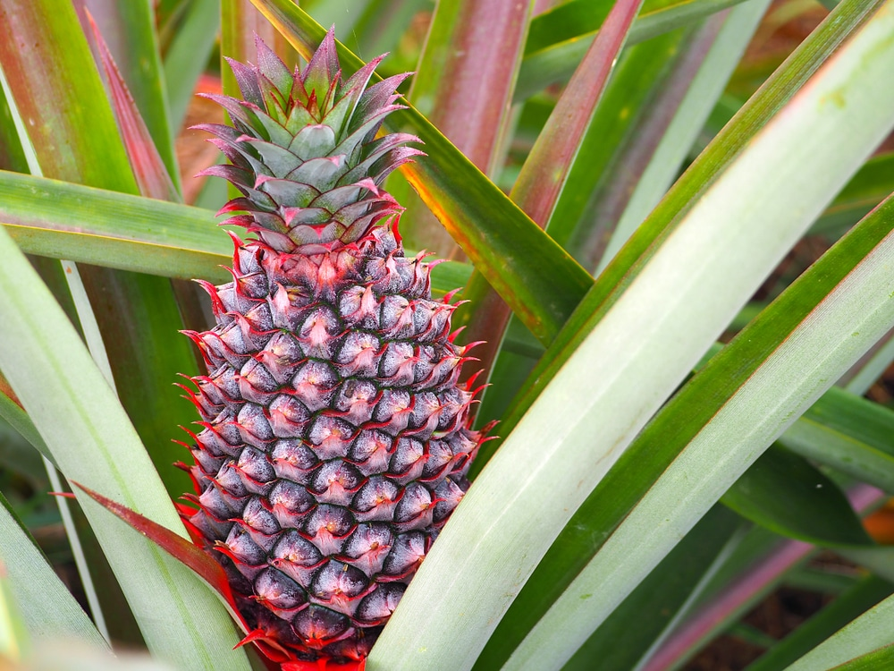 how long does it take to grow a pineapple. Black Bedroom Furniture Sets. Home Design Ideas