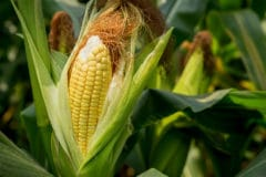how-long-for-corn-to-grow