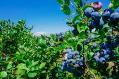 Where do blueberries grow top facts tips for How much sun does a garden need