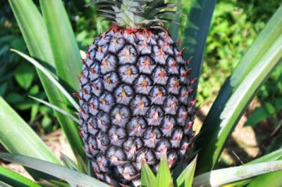 how-to-care-for-a-pineapple-plant