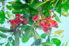 how-to-grow-cashews