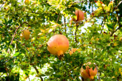 how-to-grow-pomegranate