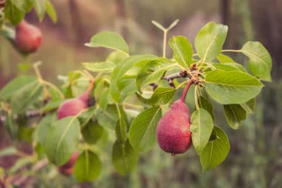 how-to-tell-if-pears-are-ripe