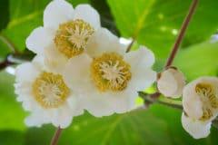 kiwi-flower