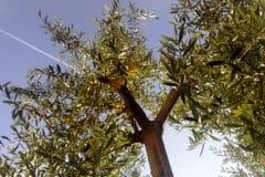 olive-tree-care