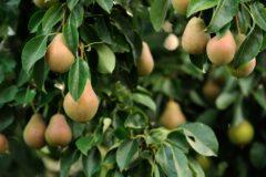 pear-tree-care