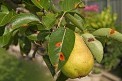 pear-tree-diseases