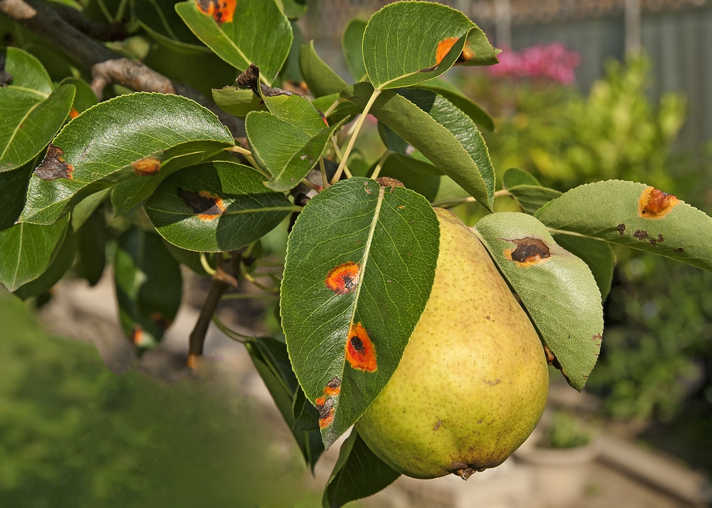 Pear Tree Diseases 187 Tips On Identification Amp Control