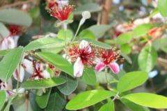 pineapple-guava-hedge
