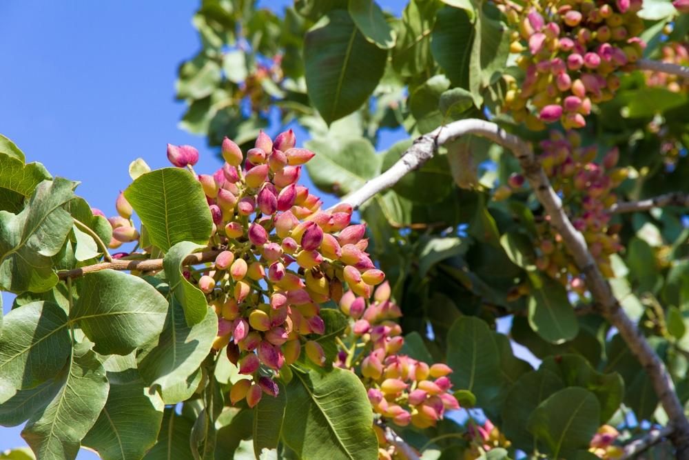 Pistachio Tree Growing Conditions  Wikifarmer