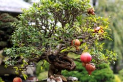 pomegranate-bonsai