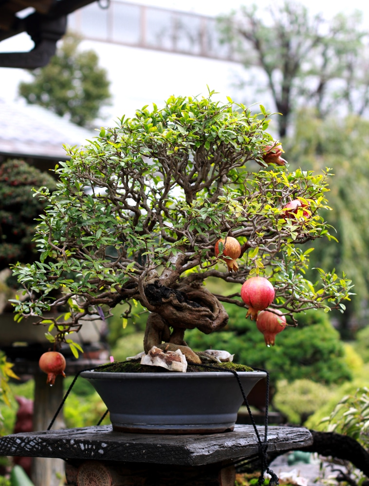 Pomegranate Bonsai Top Tips On How