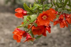 pomegranate-flower