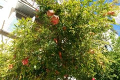 pomegranate-tree-care