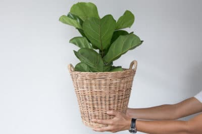 propagate-fiddle-leaf-fig