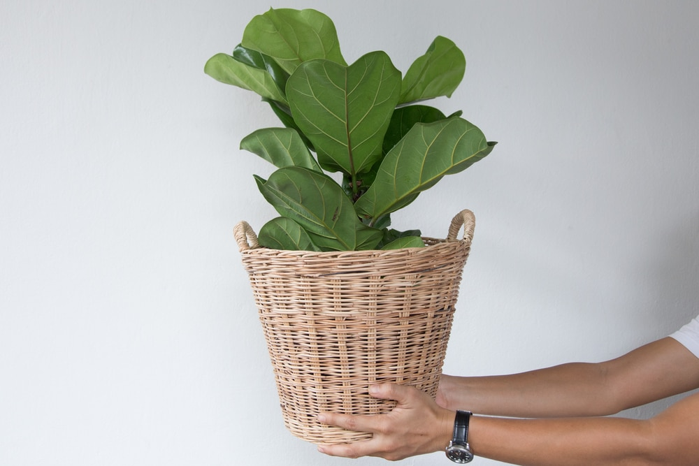 Propagate Fiddle Leaf Fig