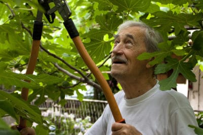 pruning-fig-trees
