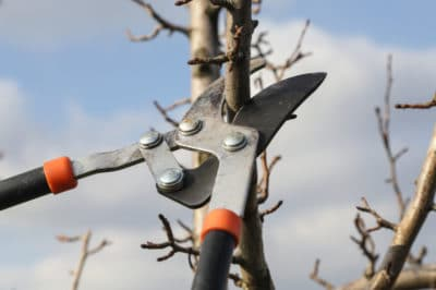 pruning-pear-trees