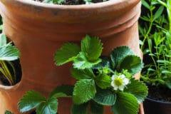 strawberry-planter