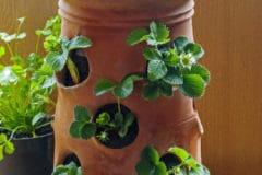 strawberry-pot