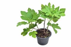 transplanting-fig-tree