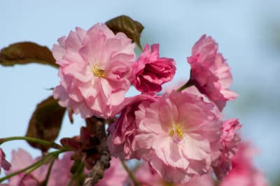 weeping-cherry-blossom
