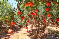 what-do-pomegranates-grow-on