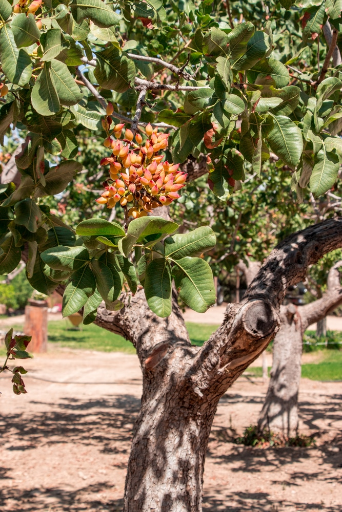 Growing Pistachios: What Does A Pistachio Tree Look Like? » Top Tips