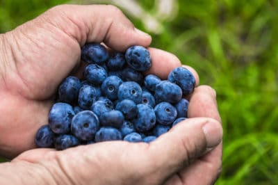 when-are-blueberries-ripe