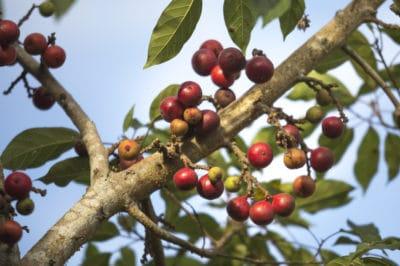 when-are-figs-in-season