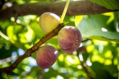 when-do-fig-trees-bear-fruit