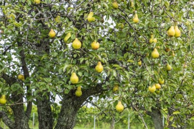 when-do-pears-ripen