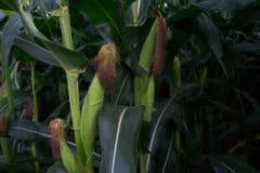 when-is-corn-season