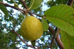 when-is-guava-ripe