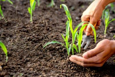 when-to-fertilize-corn
