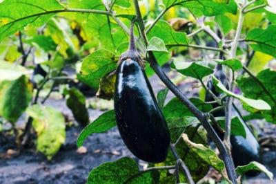 when-to-pick-black-beauty-eggplant