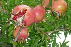 when-to-pick-pomegranate