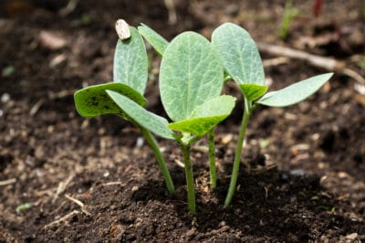 when-to-plant-butternut-squash