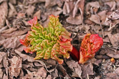 when-to-plant-rhubarb